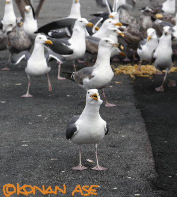 Seagull_tips
