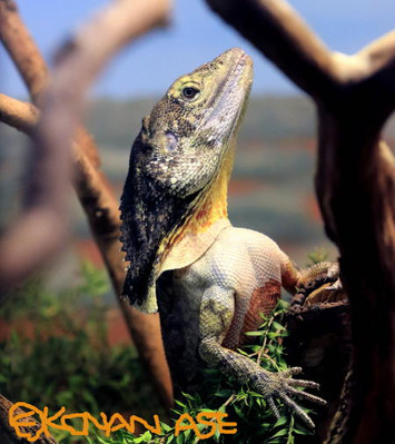 Lizard01_1