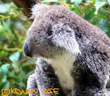 Koala_424_1