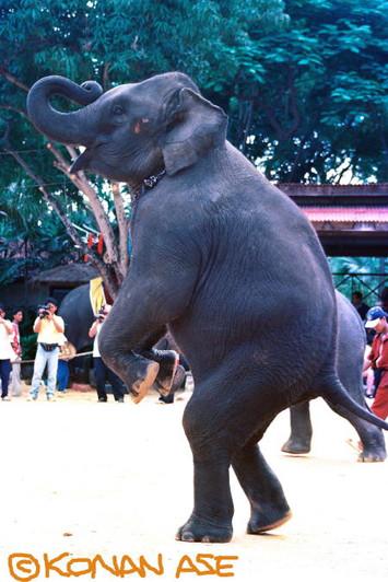Thai_elephant_16_1_1