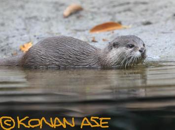 Otter_513_1