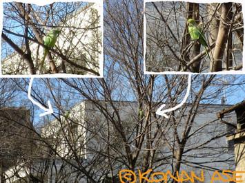 Roseringed_parakeet_56_1