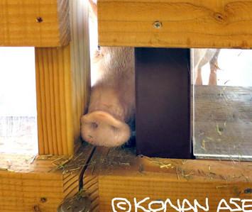 Pig_71_1