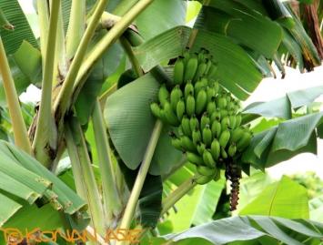 Banana_297_1