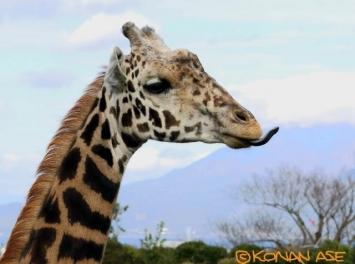 Giraffe_74_1_1