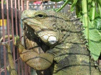 iguana01