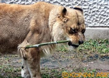 Lion_269_1_1