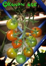 tomato01a_1.jpg