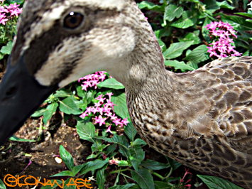 Duck_1