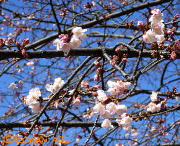 Sakura_08_1