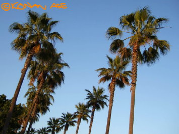 Palm_trees_1