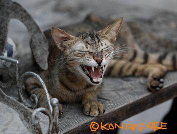 Arabian_cat