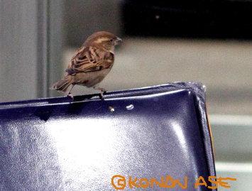 Fra_sparrow