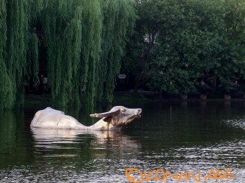 Water_buffalo