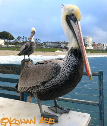 Brown_pelican_1_1