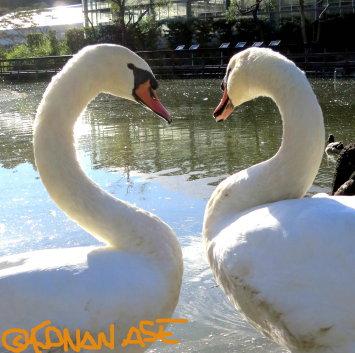Heart_swan_1