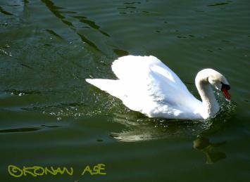 Swan01_1