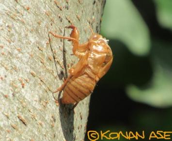 Cicada_exuviae_0881_1_1