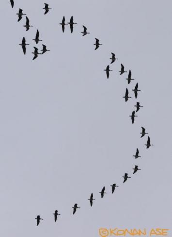 Goose_110_1