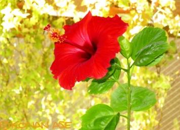 Hibiscus_0010_1