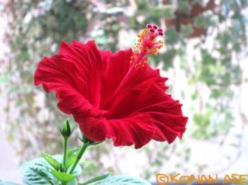 Hibiscus_002_1