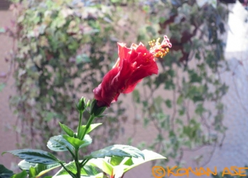 Hibiscus_003_1