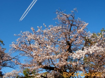 Sakura_148_1
