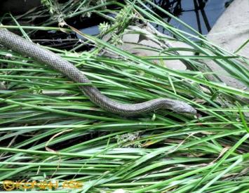 Snake618_002_1