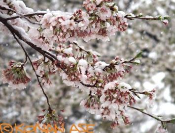 Snow_sakura_026_1