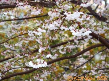 Snow_sakura_033_1_1